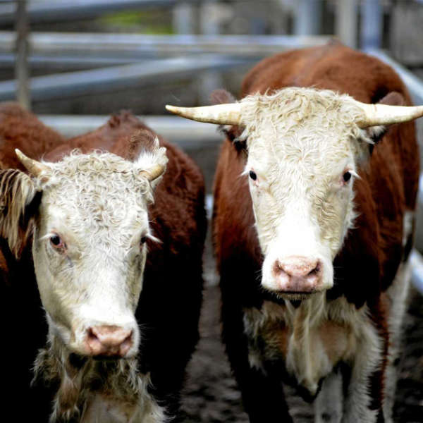 murgon cattle sales